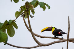 Chestnut mandibled toucan. Wild chestnut mandibles toucan perched on a tree branch in the Costa Rica south pacific stock images