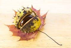 Chestnut on maple leaf. Autumn chestnut arranged on maple leaf Royalty Free Stock Photos