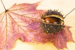 Chestnut on maple leaf. Autumn chestnut arranged on maple leaf Stock Photo
