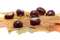 Chestnut on maple leaves Stock Photos