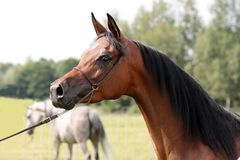 Chestnut Mare Royalty Free Stock Image