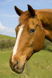 Chestnut mare Royalty Free Stock Photos