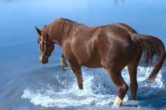 Chestnut mare Stock Images