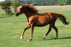 Chestnut mare canter very fast on summer pasture. Green landscape with runner horse on meadow near farm royalty free stock image