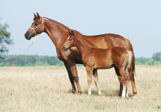 Chestnut mare and foal. Portrait of trakehner mare and foal Royalty Free Stock Photo