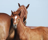 Chestnut mare and foal. Portrait of trakehner mare and foal Stock Image