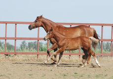 Chestnut mare and foal. Chestnut trakehner mare and foal in motion Royalty Free Stock Photo