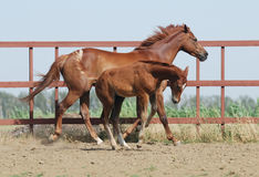 Chestnut mare and foal Royalty Free Stock Photo