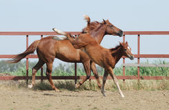 Chestnut mare and foal. Chestnut trakehner mare and foal in motion Stock Photo