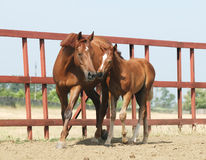 Chestnut mare and foal Stock Photos