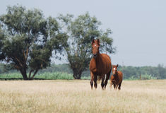 Chestnut mare and foal. Chestnut trakehner mare and foal in motion Royalty Free Stock Images