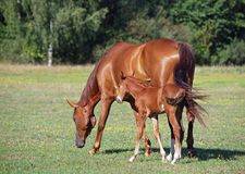 Chestnut mare with a foal. Are grazed on a meadow Stock Photography