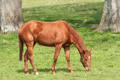 Chestnut mare grazing Royalty Free Stock Photos