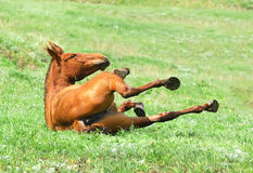 Chestnut mare rolling in the grass on pasture Stock Images