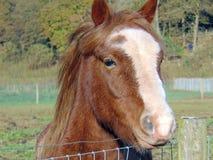 chestnut mare shadow Στοκ εικόνα με δικαίωμα ελεύθερης χρήσης