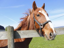 Chestnut Mare Up Close Stock Image