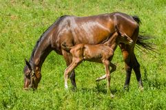 Free Chestnut Mare With Young Foal Stock Photos - 114679663