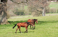 Chestnut mares crossing grassland Royalty Free Stock Photo