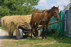 Chestnut mule Royalty Free Stock Images