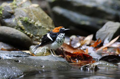 Chestnut-naped forktail Enicurus ruficapillus Royalty Free Stock Image