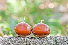 Chestnut in nature Stock Image