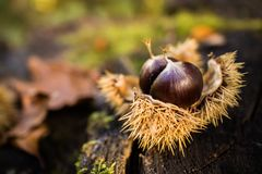 Chestnut in nature on stump.  Stock Photo