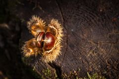 Chestnut in nature on stump Royalty Free Stock Photo