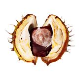 Chestnut in open husk. Royalty Free Stock Photo