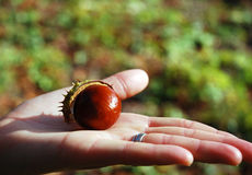 Chestnut on a palm. Ripe autumn chestnut half with the peel on the open palm of your hand royalty free stock photography