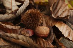 Chestnut phases. The various phases and parts of the chestnut nut royalty free stock images