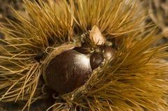 Chestnut Stock Images