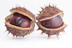 Chestnut pods Stock Images