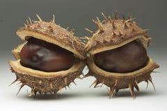 Free Chestnut Pods Stock Photography - 40701242