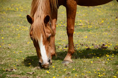 Chestnut pony in the New Forest Stock Image