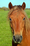Chestnut pony portrait Stock Image