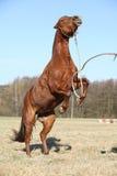 Chestnut pony prancing Stock Photos