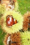 Chestnut-Portuguesa isolated white background fruit delicious healthful Sao Paulo Brazil royalty free stock image