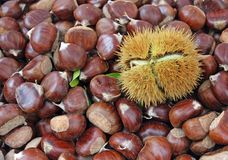 Chestnut and a pungent Hedgehog with the fruit inside Stock Photography