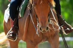 Free Chestnut Quarter Horse Closeup Royalty Free Stock Photo - 148878335
