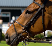 Chestnut Racehorse Stock Photo