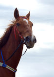 Chestnut racehorse. Against the sky Stock Images