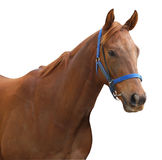 Chestnut Racehorse. Isolated with clipping path Royalty Free Stock Images