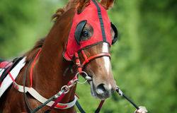 Chestnut racing horse before start Royalty Free Stock Photography