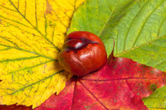 Chestnut on red, yellow and green leafs Royalty Free Stock Images