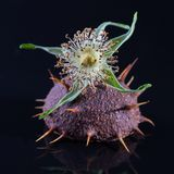 Chestnut and rosehip. On the black background Stock Photography