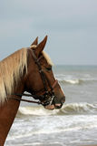 Chestnut at sea Royalty Free Stock Image