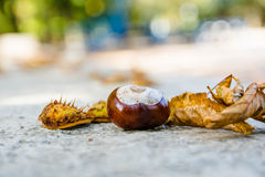 Chestnut seed Royalty Free Stock Images