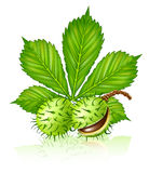 Chestnut seed fruits with green leaf isolated Stock Image