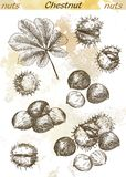 Chestnut. Set of vector sketches on an abstract background Royalty Free Stock Photography