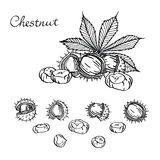 Chestnut set of vector sketches on white background.Chestnuts. Set of graphic hand drawn illustrations Royalty Free Stock Photo